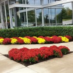 Commercial Landscape Mums Minneapolis